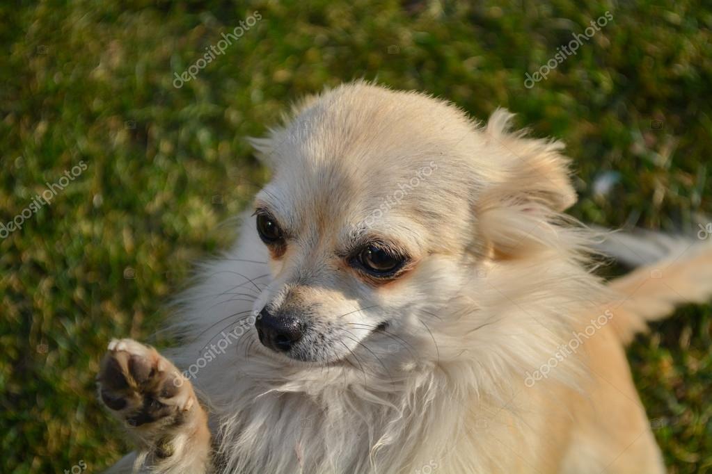 смотреть фото чихуахуа с висячими ушами фото юной галины