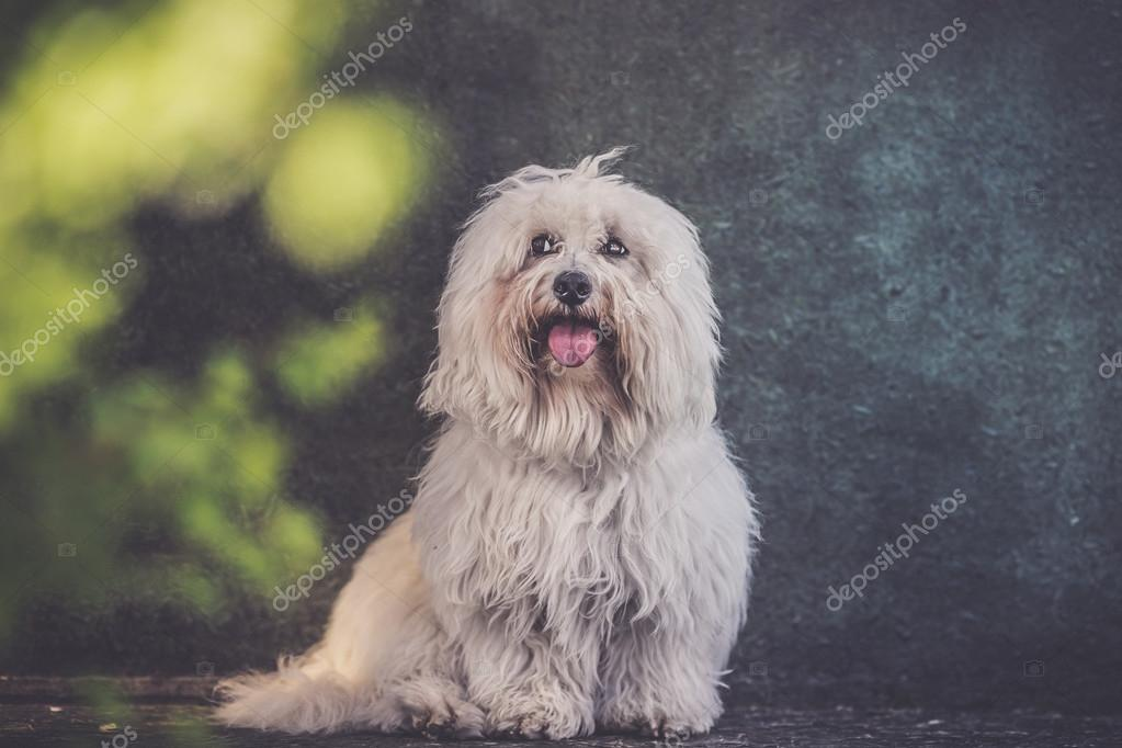 Small White Long Haired Dog Portrait Grunge Effect Stock Photo