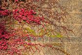 Fotografie Green hedera helix or common english ivy in autumn colors  covering an old historic wall in Cambridge UK