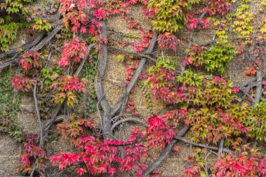 Green hedera helix or common english ivy in autumn colors  covering an old historic wall in Cambridge UK