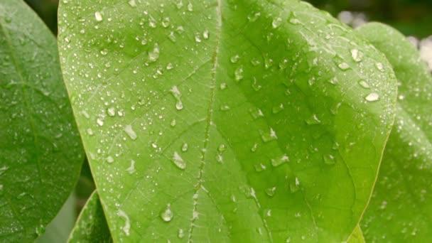 Zöld levelek esőcseppek alatt. Közelkép. Lassú mozgás FullHD felvétel
