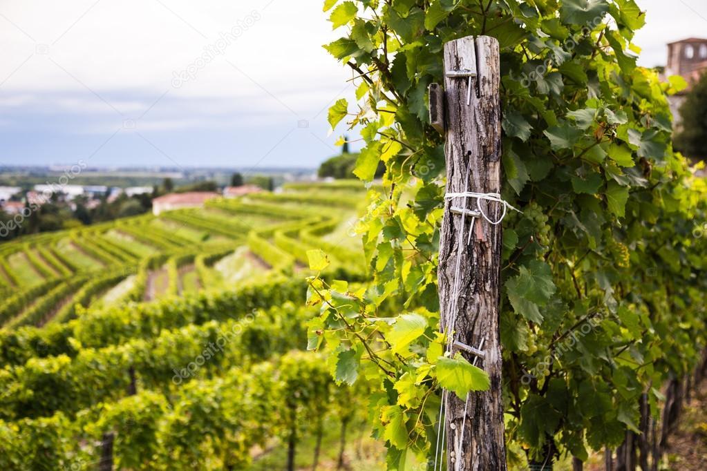 Champ De Vigne champ de la vigne dans la campagne italienne — photographie mitch