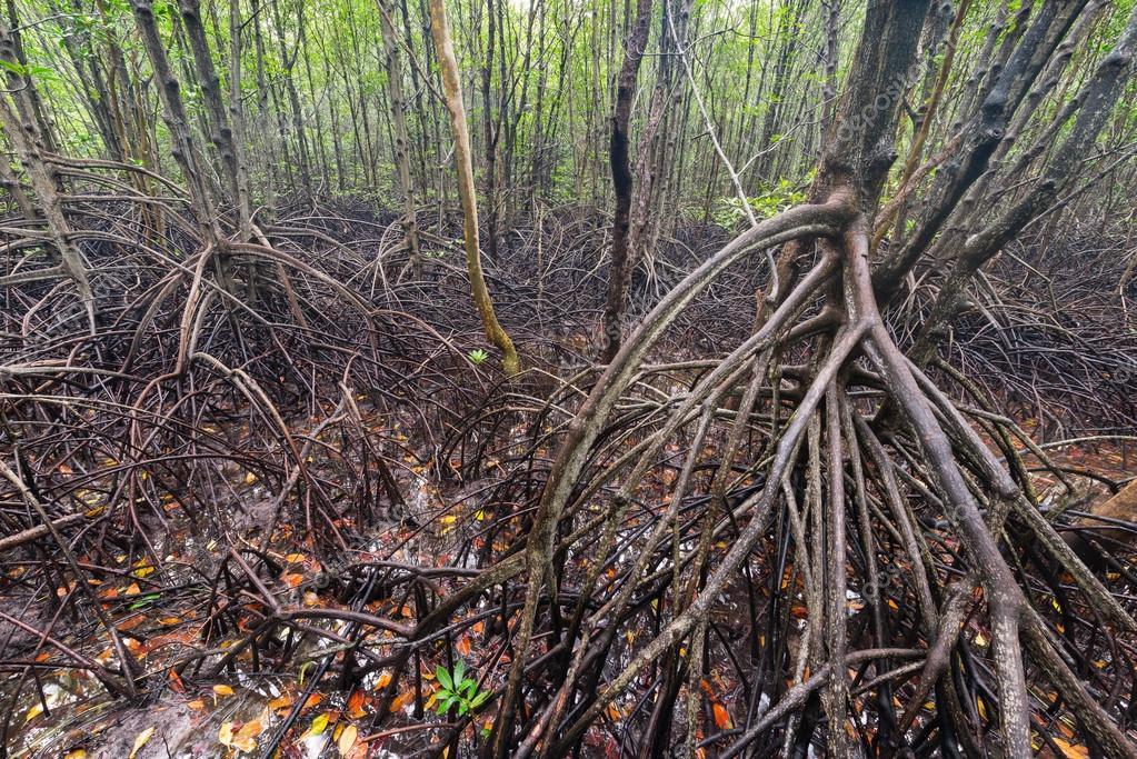 Mangroves forest plantation