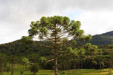 Closeup of upper part of Araucaria angustifolia ( Brazilian pine