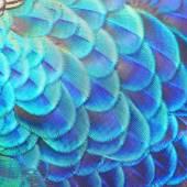Modré paví peří