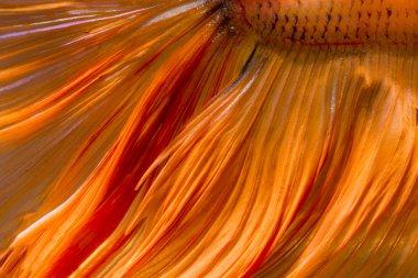 tail betta fish texture