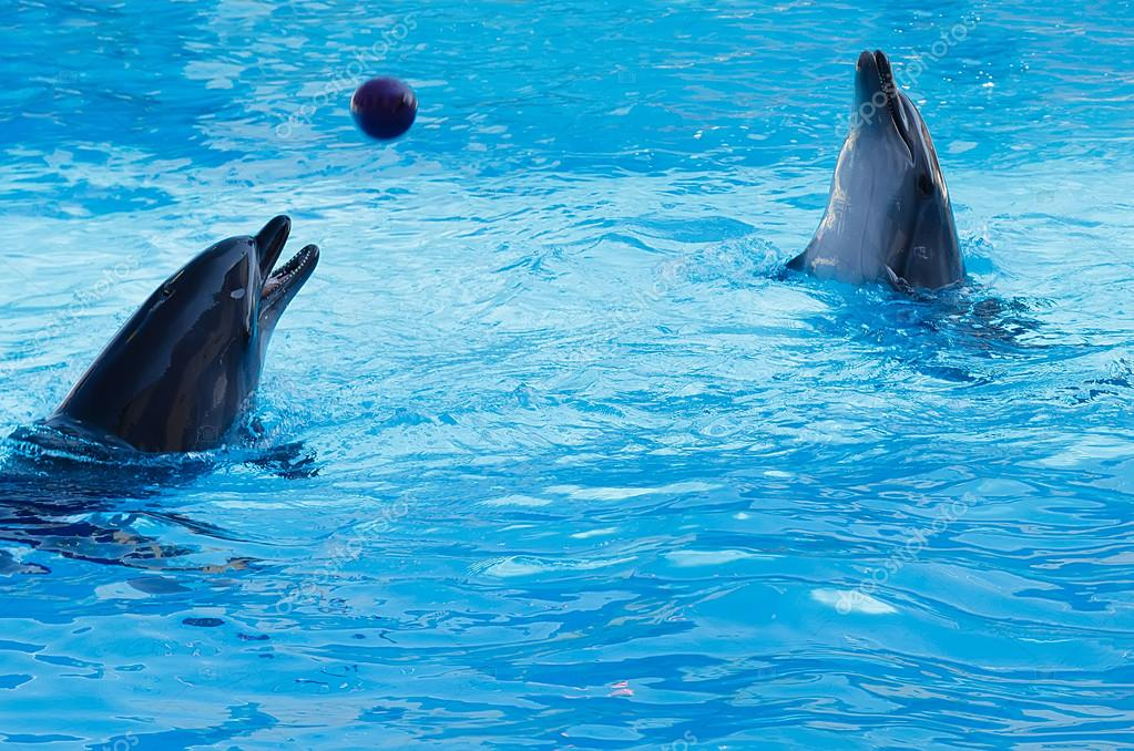 Two dolphins playing volleyball in the pool.
