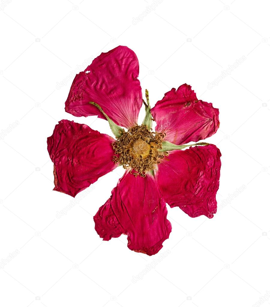 Pressed and dried flower wild rose