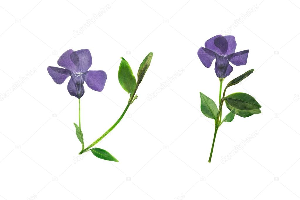 Pressed And Dried Dark Purple Flowers Forest Violets Stock Photo