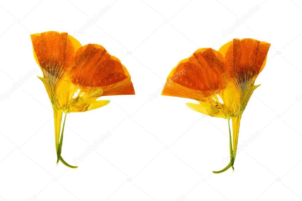 Pressée Et Séchée Jaune Délicat De Fleurs Couleur Capucine