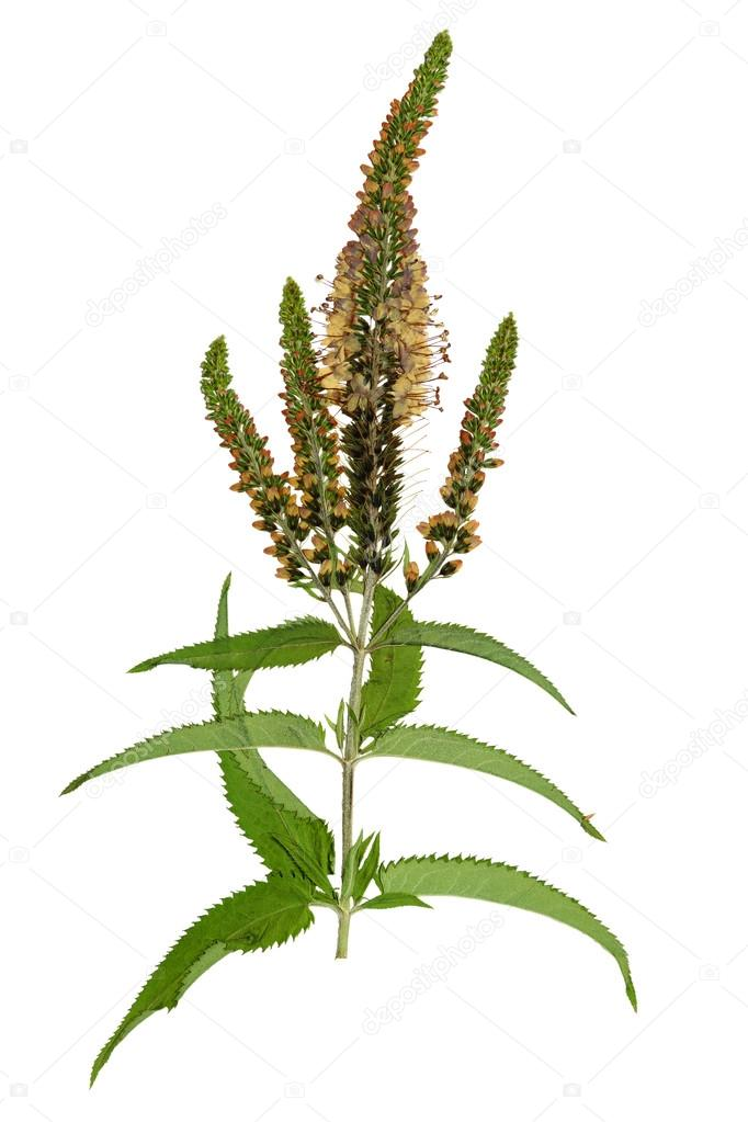 Pressed and dried flowers veronica spicata isolated stock photo pressed and dried flowers veronica spicata isolated on white background for use in scrapbooking floristry oshibana or herbarium photo by svrid79 mightylinksfo