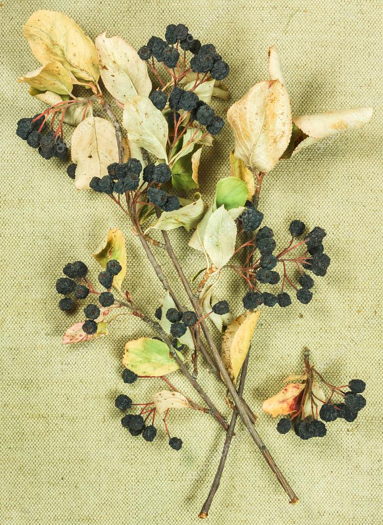 Chokeberry, aronia.Dried herbs. Herbal medicine, phytotherapy me
