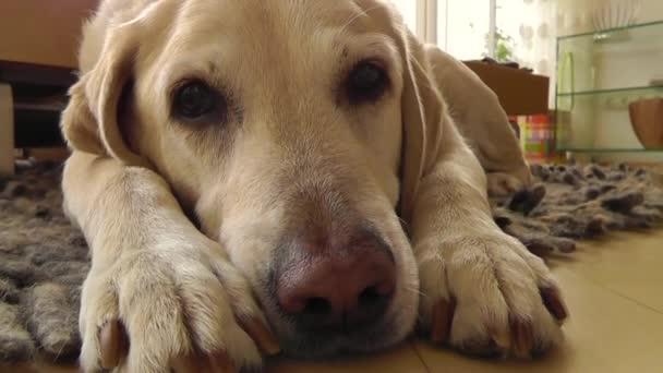 Labrador Dog Relaxing Lying On Floor
