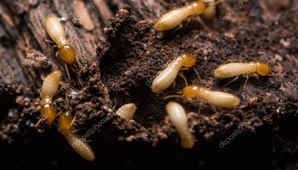 Close up termites or white ants