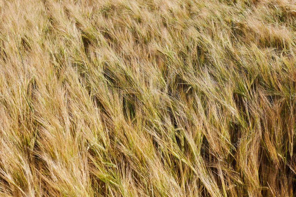 Wheat field. Ears of golden  close up