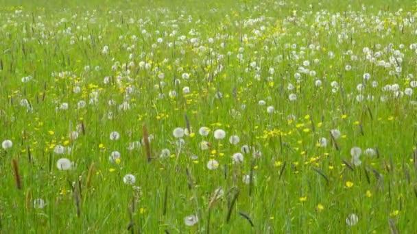 Beautiful Spring Meadow with Wildflowers - camera pan