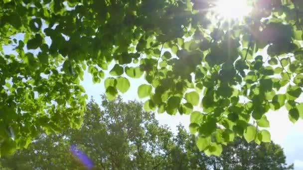 schöne frische grüne Blätter, die sich im Wind gegen die Sonne bewegen, mit Sonnenstrahlen und Linsenraketen - Kamerafahrt