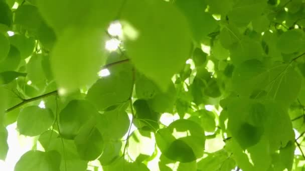 Beautiful fresh green Leaves against the Sun