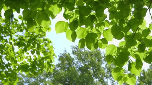 Krásné čerstvé zelené listy proti slunci - fotoaparát pánve