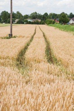 Yellow wheat growing in a farm field
