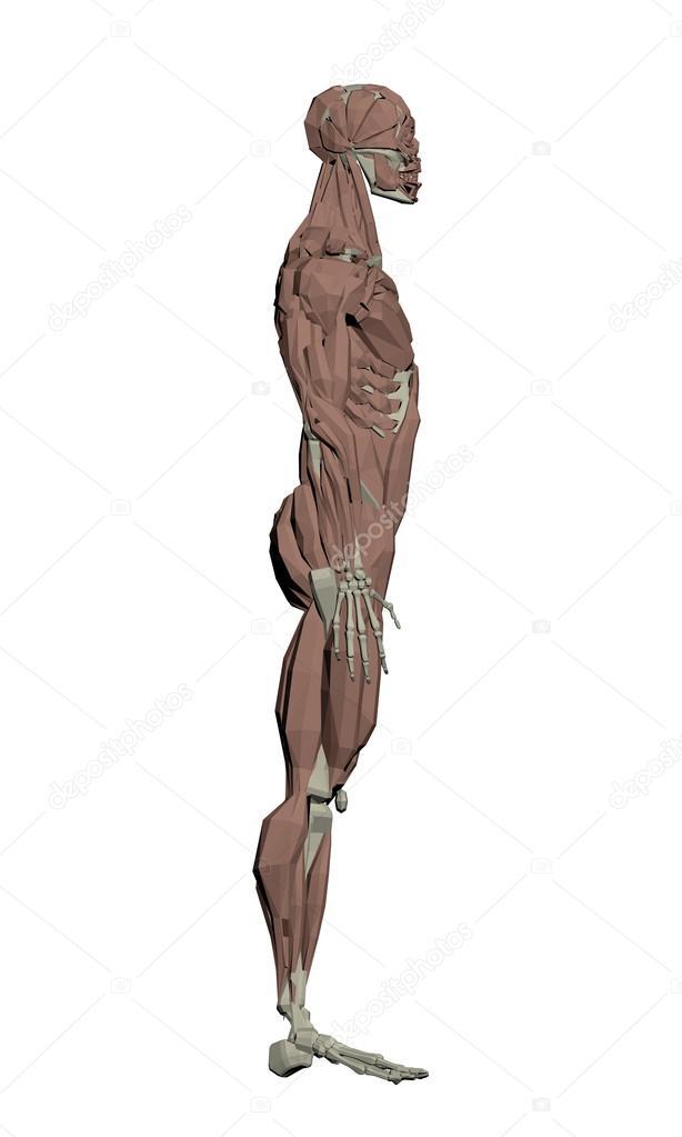 Estructura Muscular humana — Archivo Imágenes Vectoriales © Slim3D1 ...