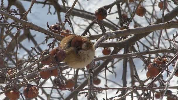 Sperling auf einem Apfel-Zweig
