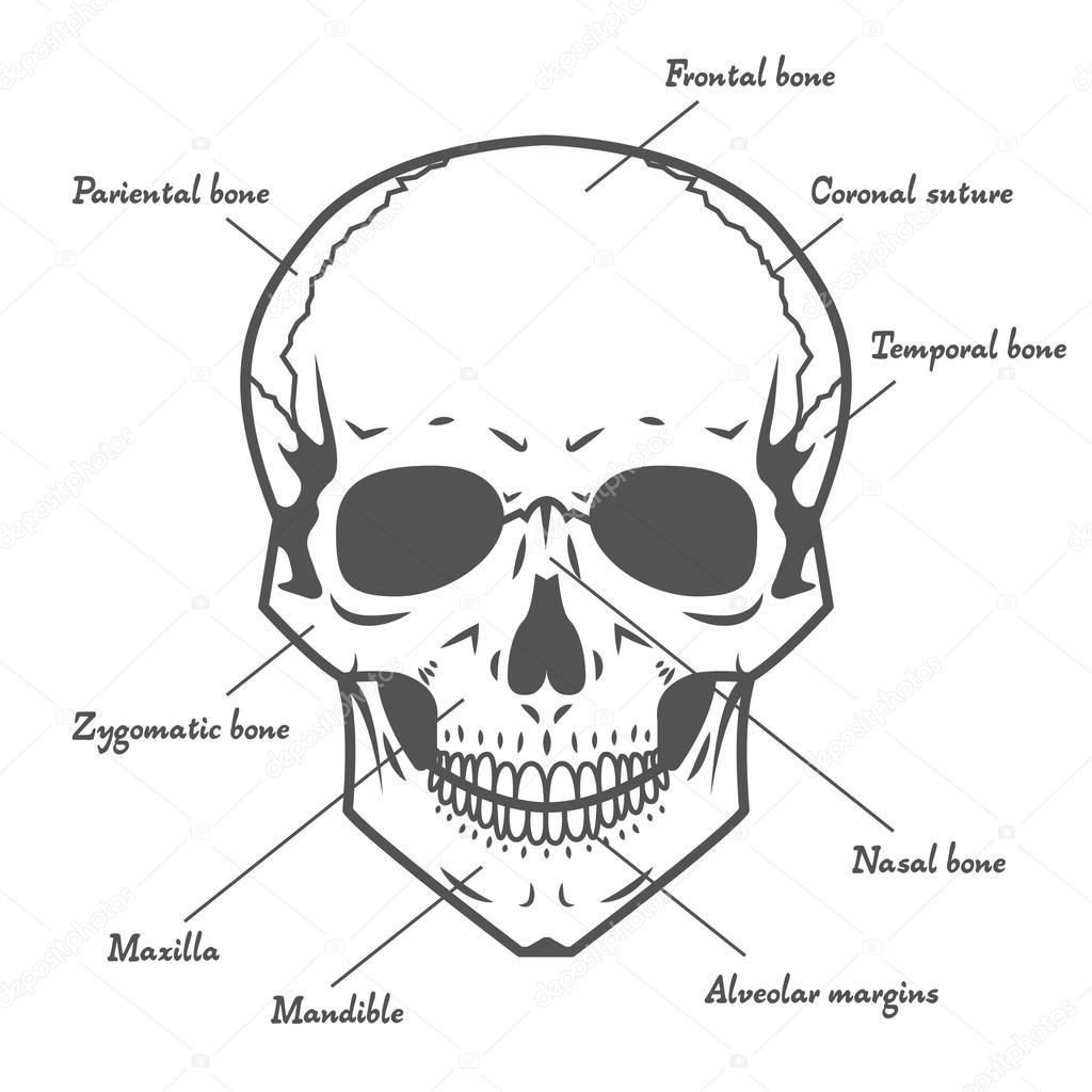 Schädel Anatomie auf weißem Hintergrund — Stockvektor © deniska11 ...