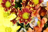 colorful chrysanthemum flowers spring summer selective soft focus the background