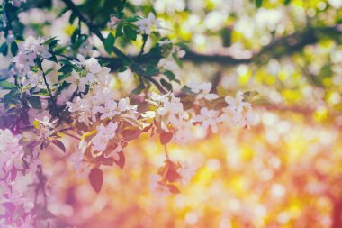 Vintage blossoming orchard