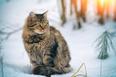 Siberian cat in forest