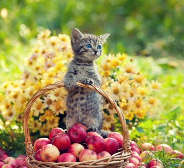 Little kitten with red apples