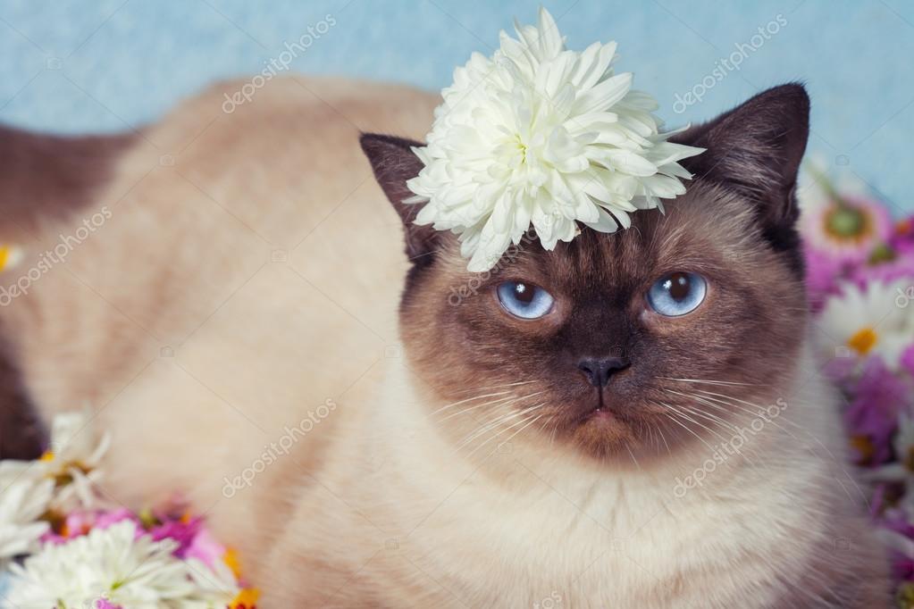 Kot Syjamski Na Kwiaty Zdjęcie Stockowe Vvvita 70990301