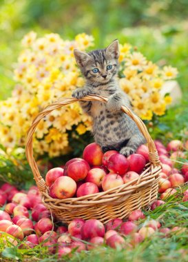 kitten with basket of apples