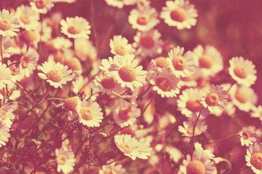 "Картина, постер, плакат, фотообои ""Цветки ромашки Уайльд"", артикул 72661675"
