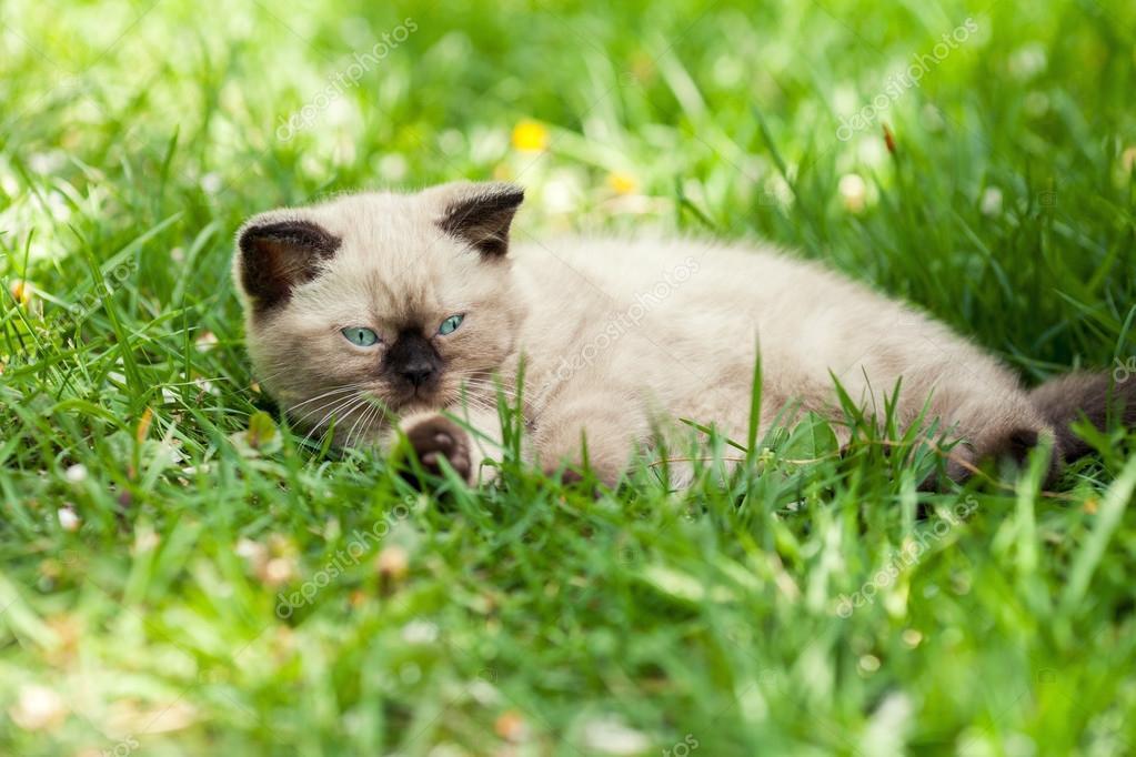Kitten relaxing on the grass
