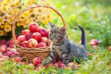 Little kitten in apple orchard