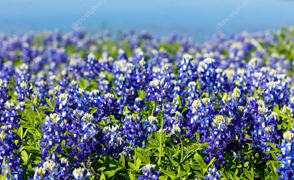 Pretty Texas Bluebonnets
