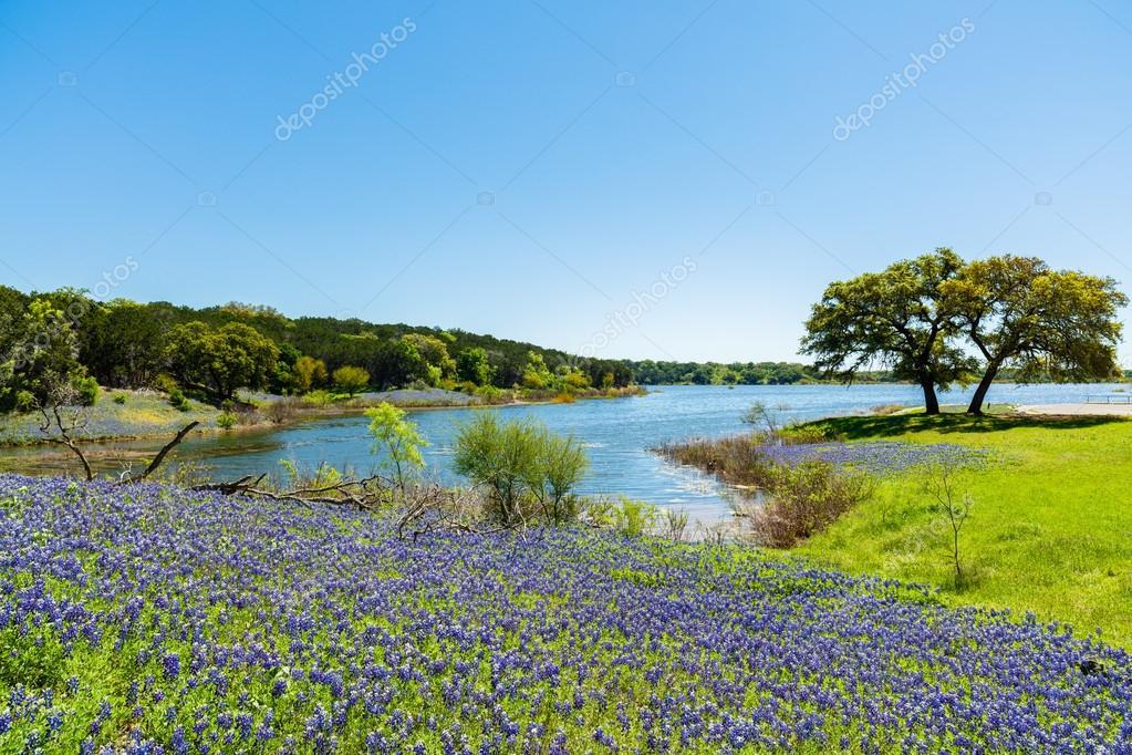 Beautiful Texas Bluebonnets