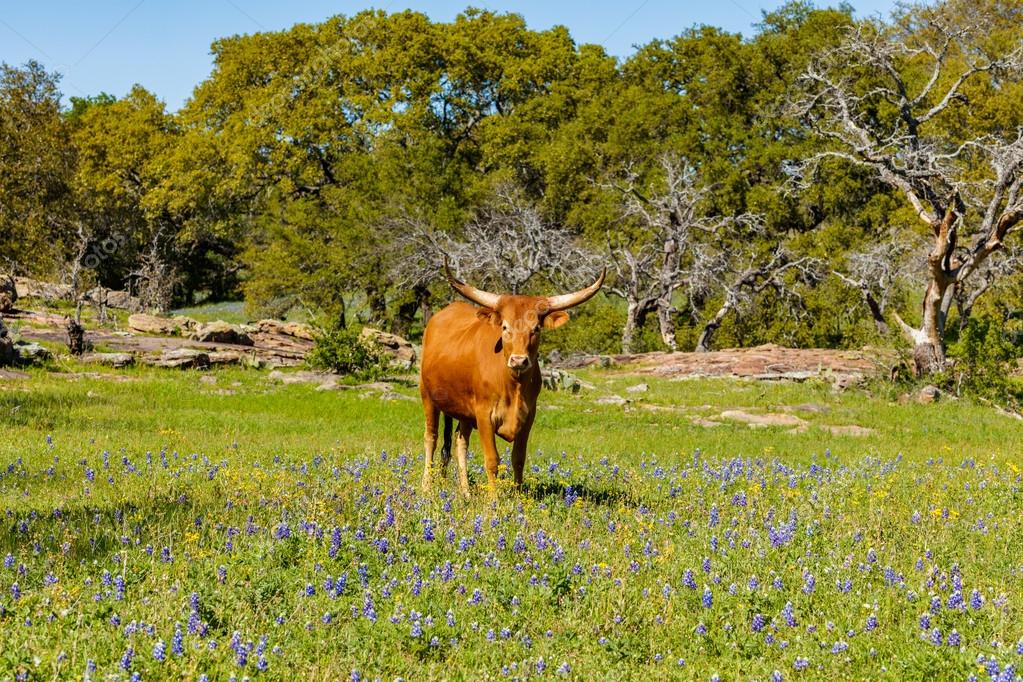 Beautiful longhorn cow