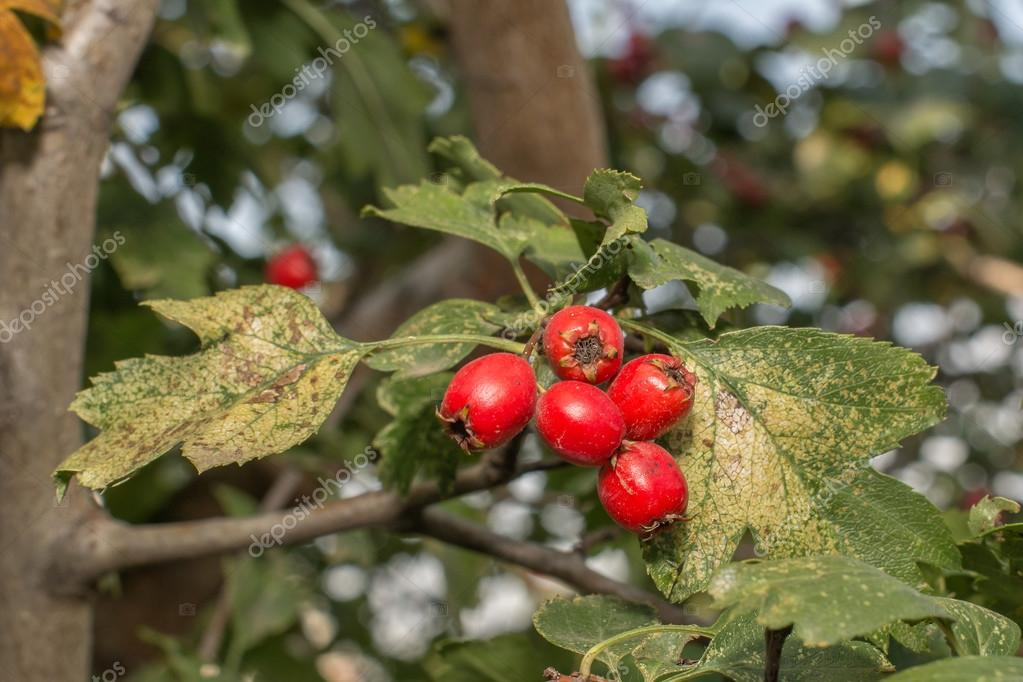 Ripe berry of hawthorn on the branch