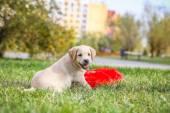 Welpen Labrador mit einem roten Kissen