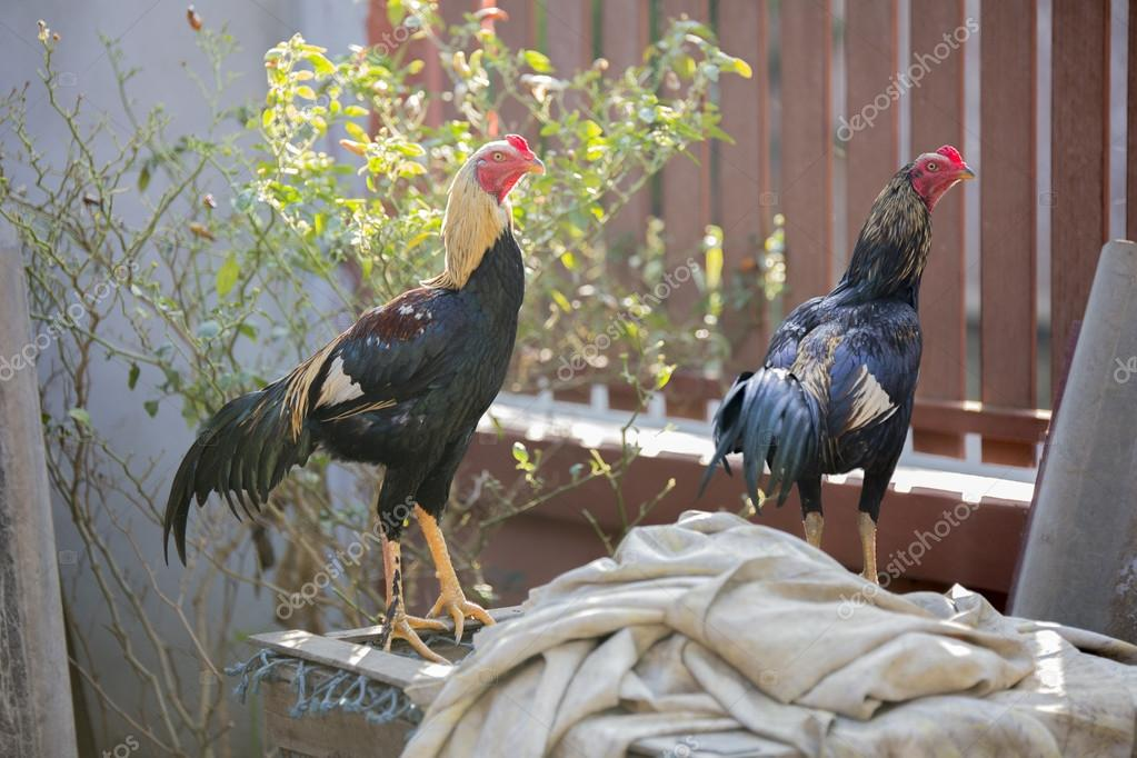 Thai Fighting Cocks for Gamecock standing on the cage