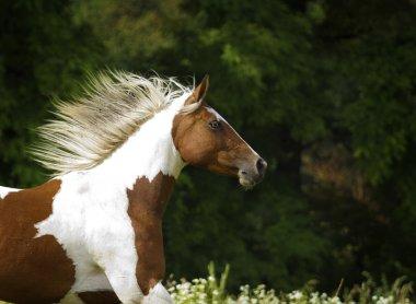 beautiful paint horse stallion running in wild