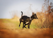 Fotografie gehorsam, schön, gesund und junge schwarze Boston-Terrier