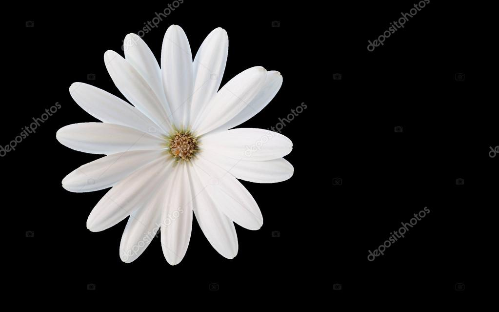 A white flower dream cropped white daisy on black background a white flower dream cropped white daisy on black background photo by mmmhagenbucher mightylinksfo