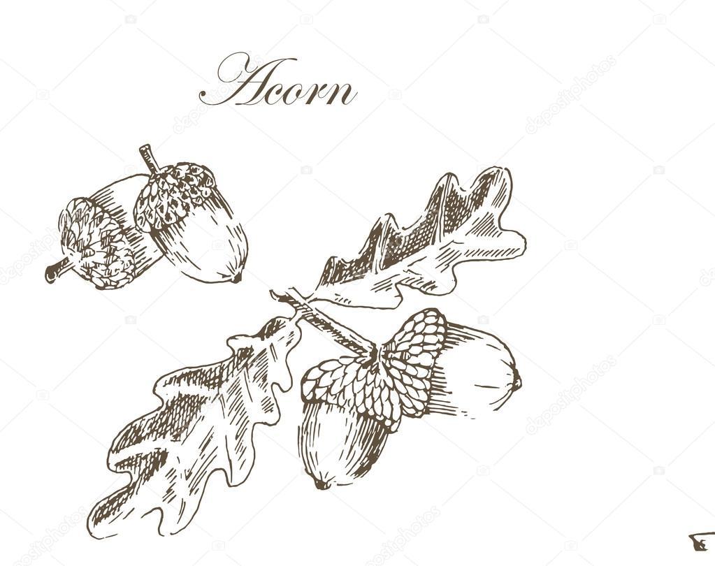 Vektor Tinte Skizze Zeichnen Im Herbst Eicheln Und Blatter