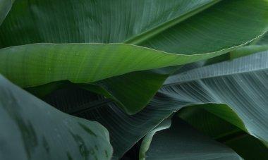 Curves of banana leaves
