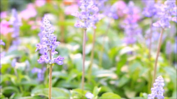 fialové čerstvá levandule