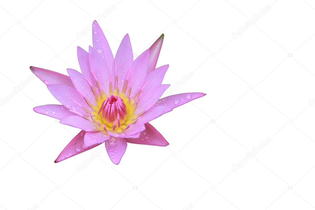 Pink lotus flower top side view in the pool has some drop water on pink lotus flower top side view has some drop water on the petal isolated on white background symbol of purity and buddhism scientific name is nelumbo mightylinksfo