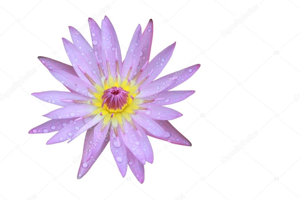 Purple lotus flower top view in the pool has some drop water on the purple lotus flower top view has some drop water on the petal isolated on white background symbol of purity and buddhism scientific name is nelumbo mightylinksfo